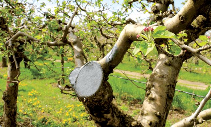 Когда и как обрезать плодовые деревья