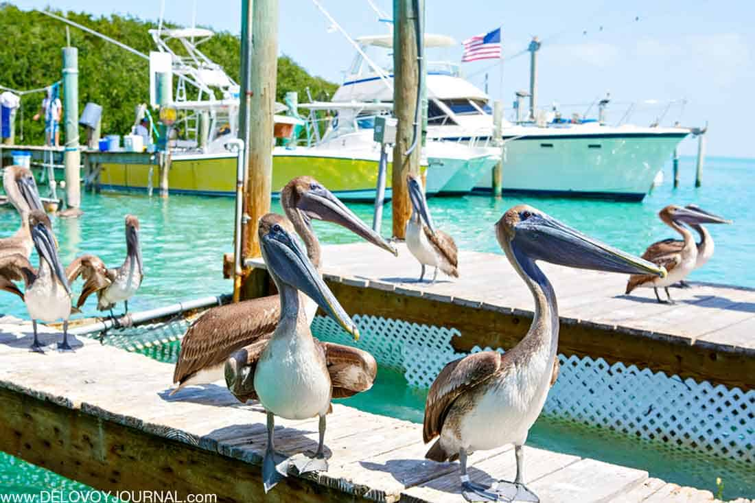 Пеликаны на Ключах Флориды
