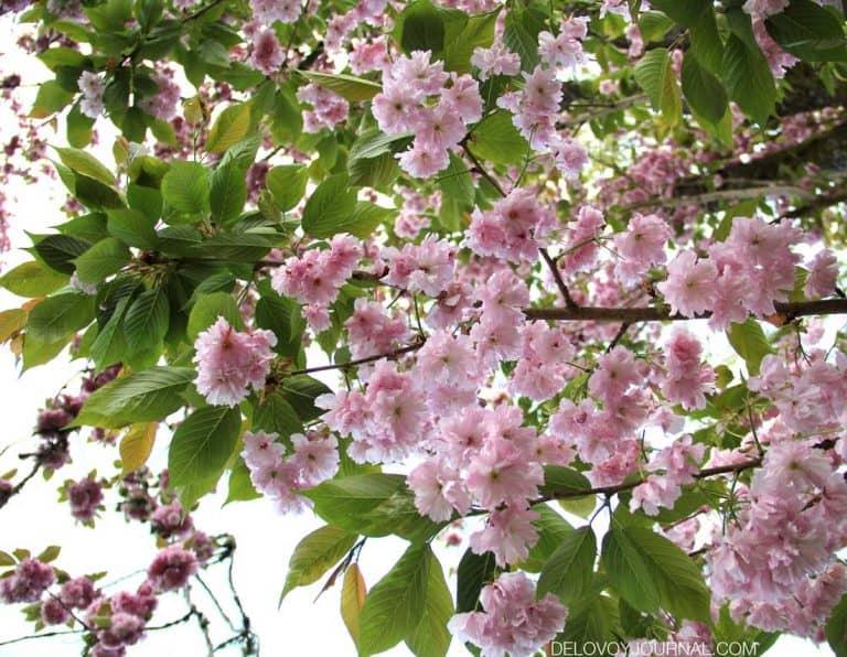 Цветение сакуры: десять интересных фактов