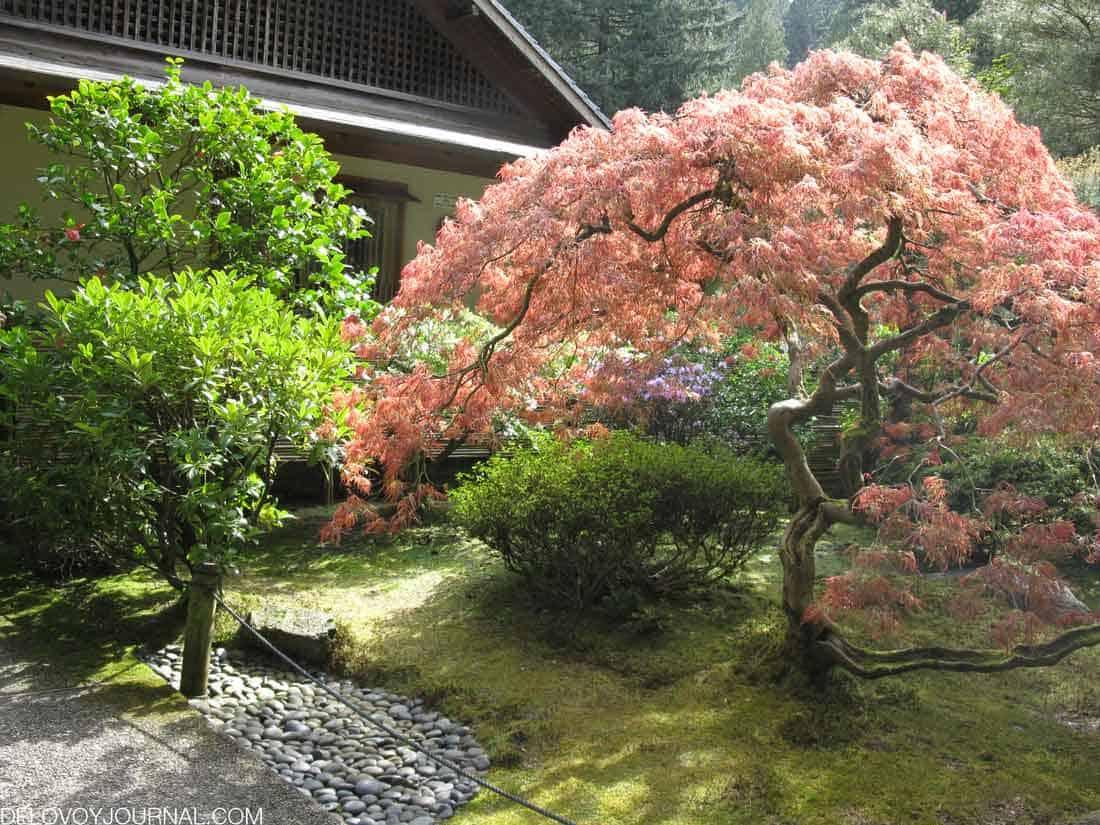 Японский клен - разнообразие на фоне зелени