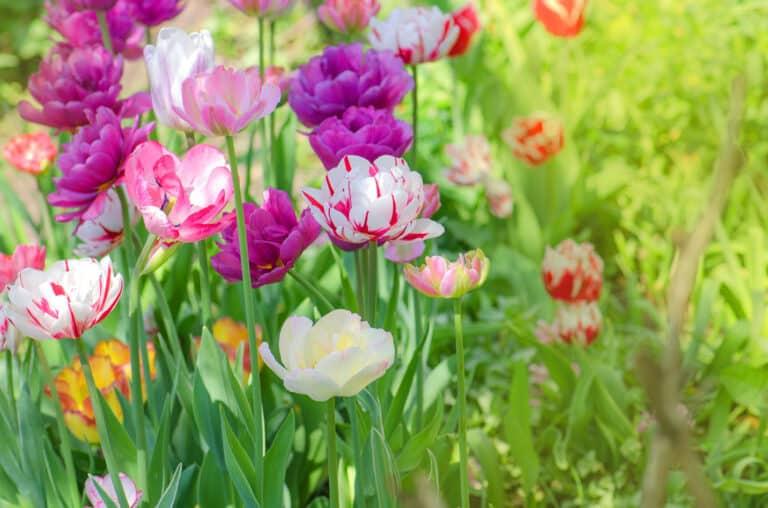 Ранние весенние цветы для клумбы