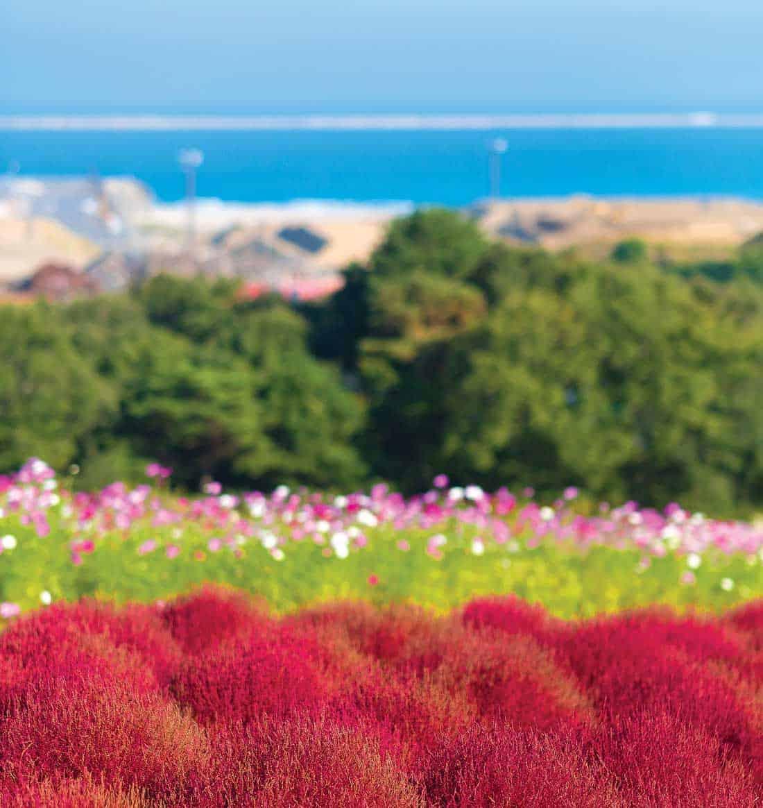 Цветение Кочи в парке Хитачи