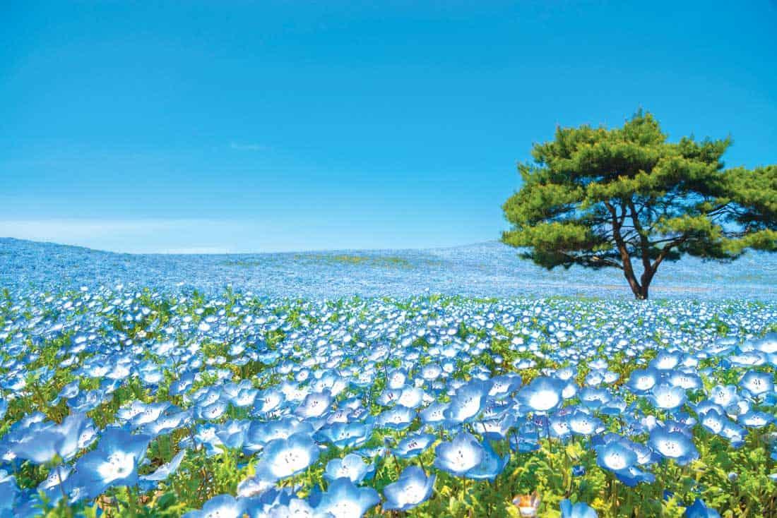 Цветение немофил в парке Хитачи