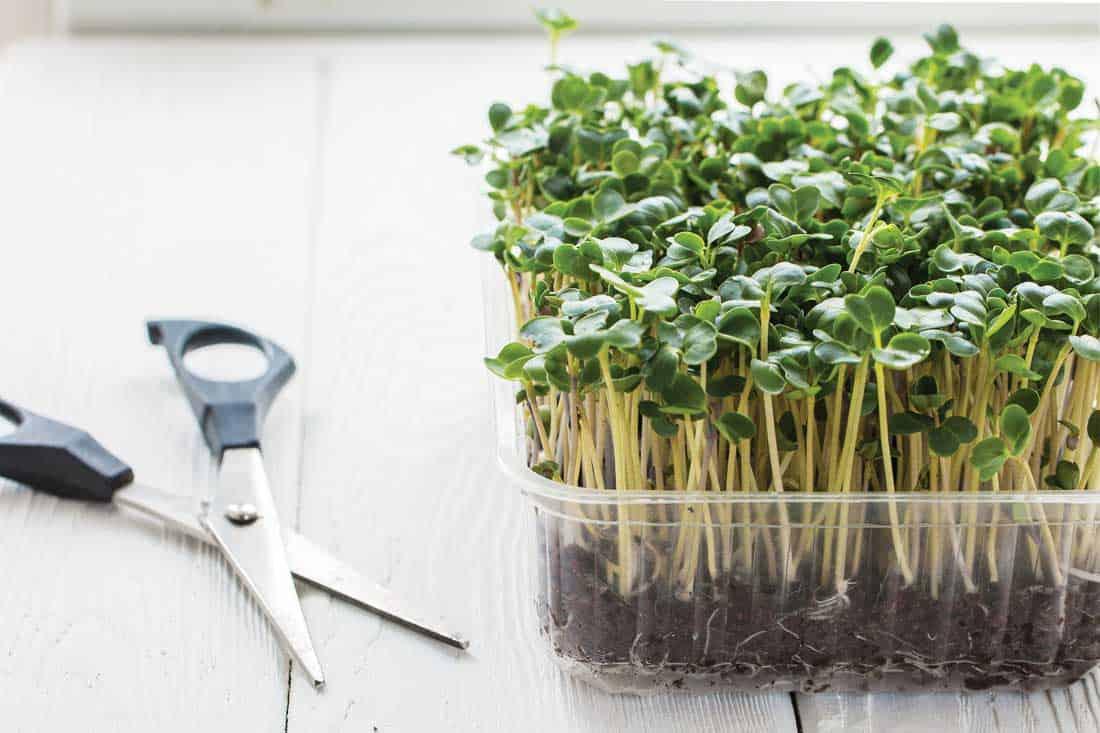 Урожай микрозелени